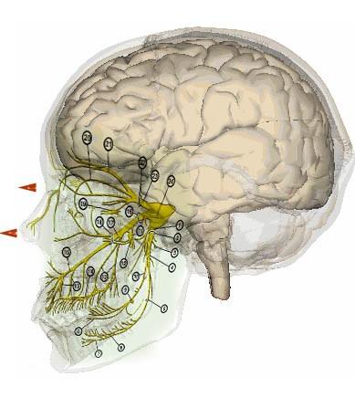 Схематическое изображение токов телепортации человека и тройничного нерва